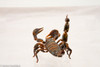 Stock imagery of a very realistic scorpion model in various positions for use in your online media.