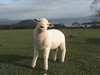 Animated Sheep Movie Prop Puppet