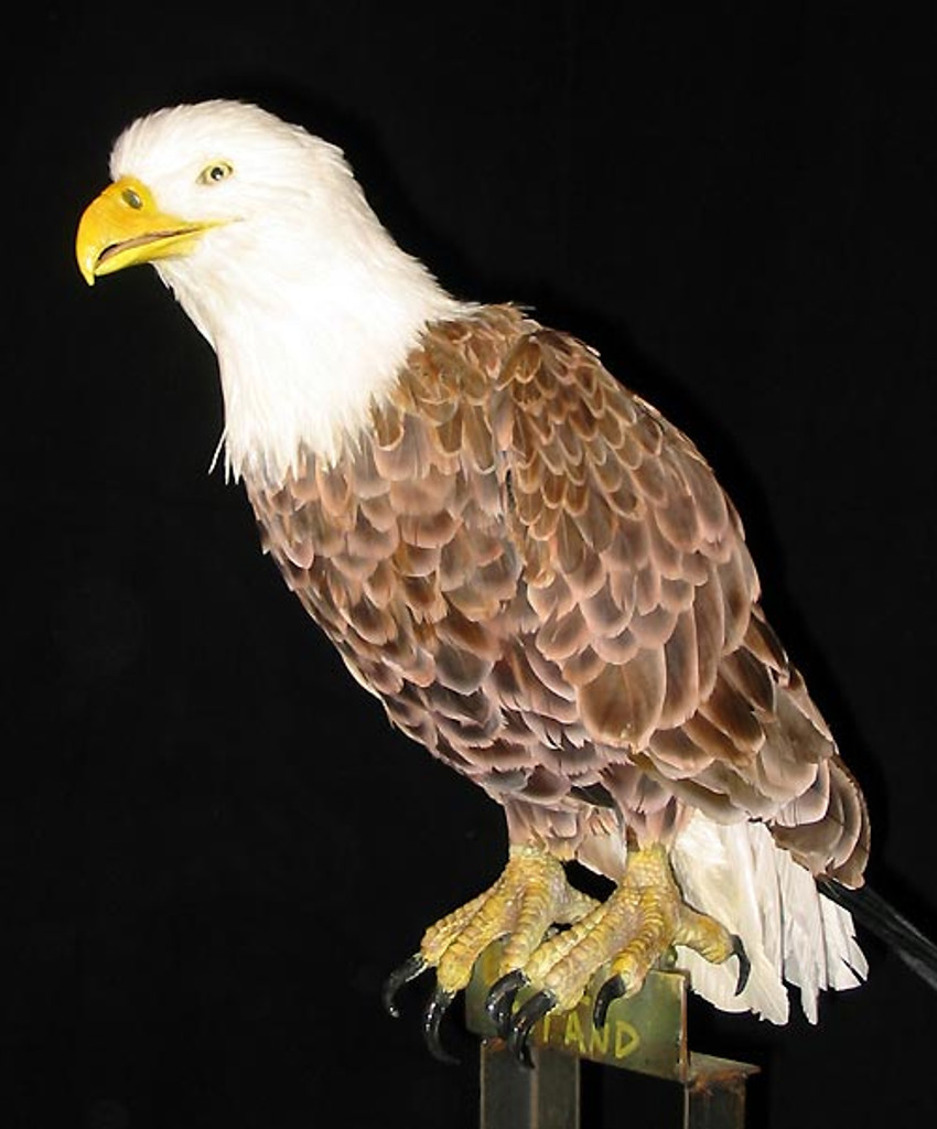 side view of this animated, bald eagle.