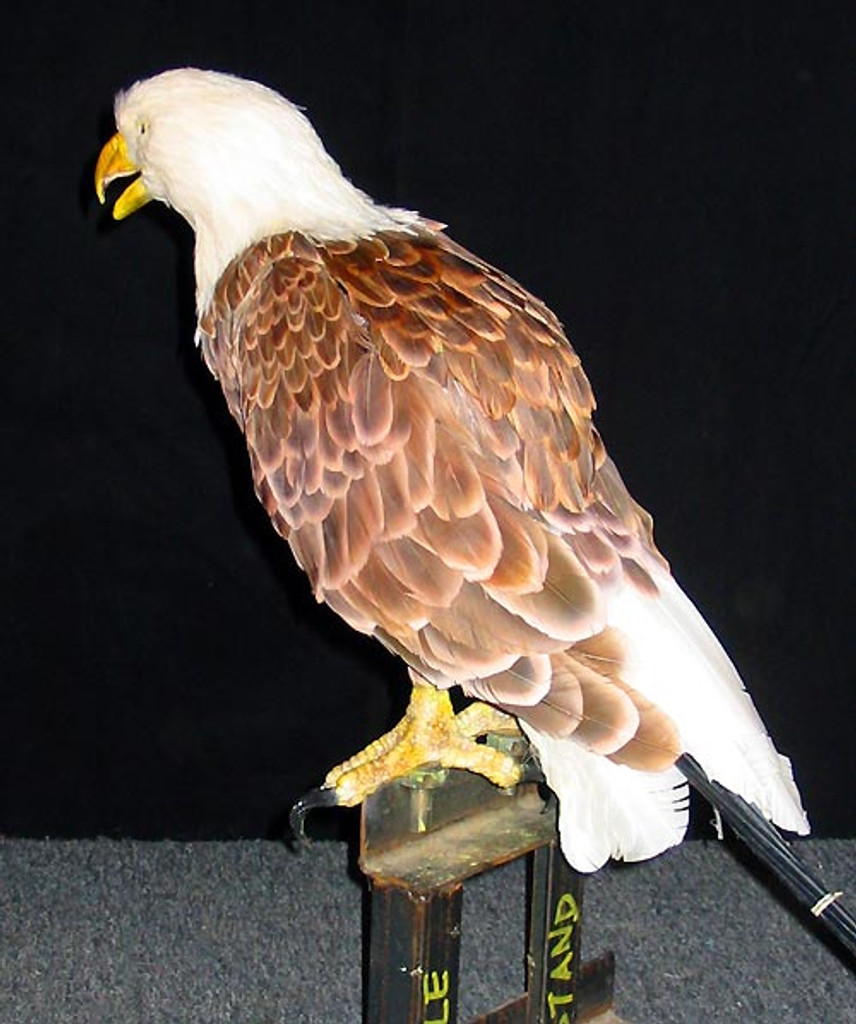 Perched American Bald Eagle Puppet