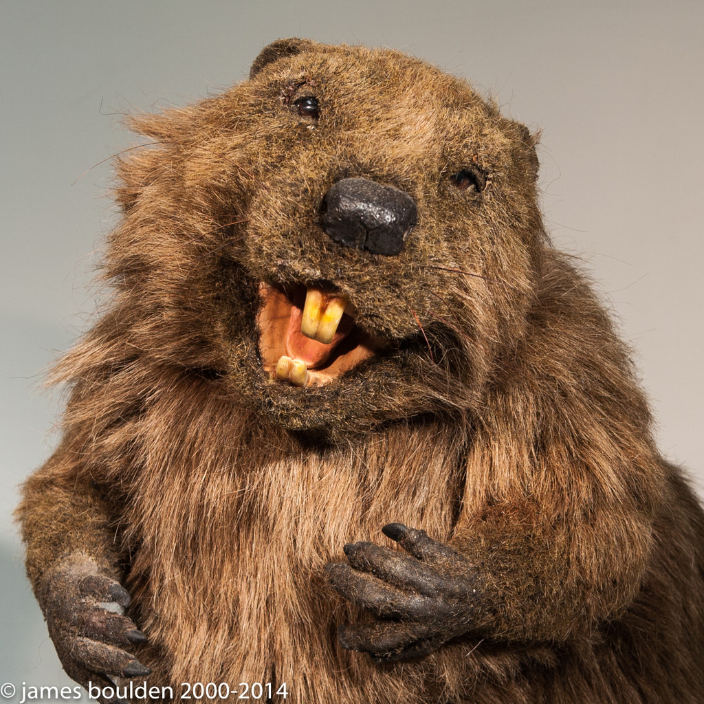 Close up of animatronic beaver which is included in this art production and mold set