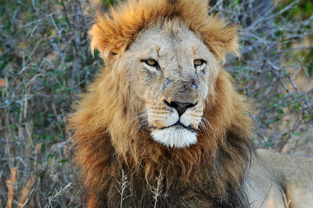 Scarred Lion example