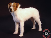 Jack Russell Terrier replica that has been made from this mold