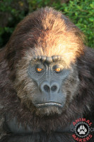Brutus the gorilla costume headshot