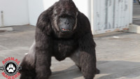 Gorilla Costume in Motion