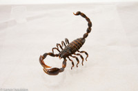 Detailed scorpion model presented in a variety of positions for use in your media presentations.