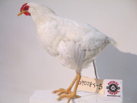 Realistic Chicken Replica Movie Prop Puppet