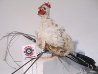 Realistic Animated Chicken Movie Prop