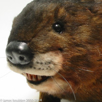 Realistic, life-size, muskrat replica made from this mold set.