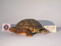 Realistic Box Turtle Prop