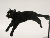 Black Cat flying position with floppy front legs