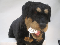 Face of an Animated Dog Attack Movie Prop Rottweiler Realistic photographed in 2014.