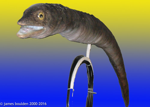 Realistic Conger Eel replica with animatronic controls