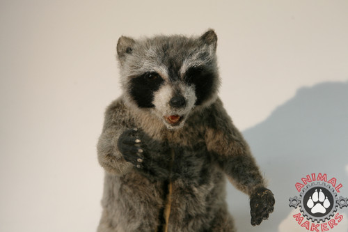 Realistic Raccoon replica movie prop close up