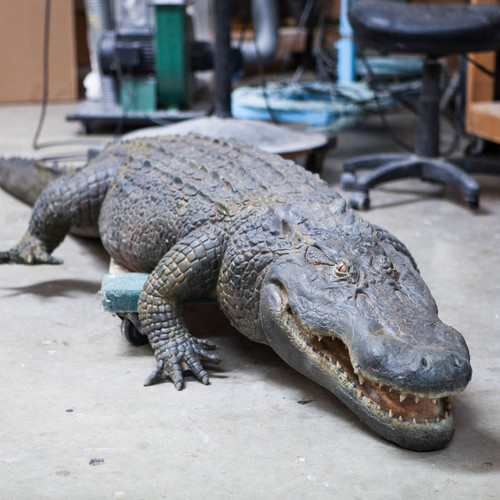 10' long American alligator created with silicone skin
