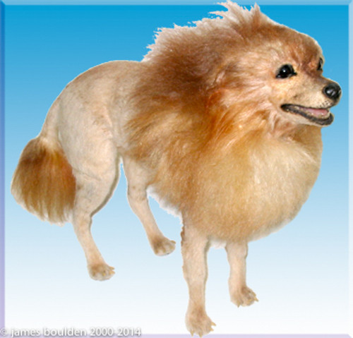 small dog replica pomeranian with lion cut