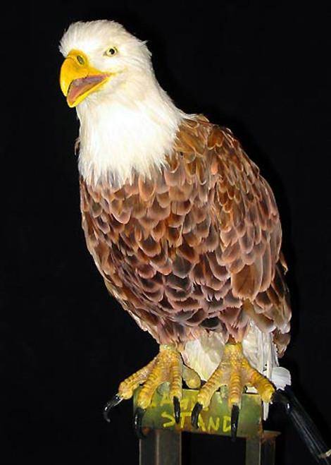 This eagle character can look amazing!