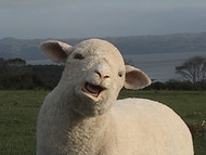 Animated Sheep Puppet