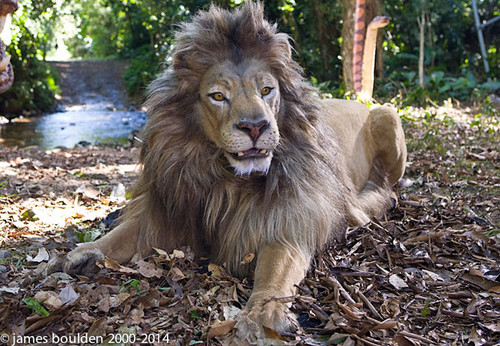 Male Lion Body and Head being used on Set