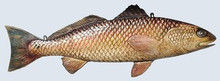 Fishtales Wooden Redfish