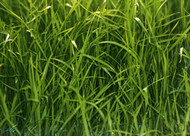 Kingston Perennial Ryegrass