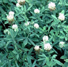 Berseem Clover Omri Listed Coating Hearne Seed