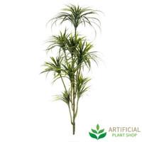 Yucca Tree 1.8m without pot