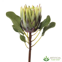 Green King Protea 60cm (pack of 6)