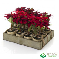 Poinsettia Tray of 12