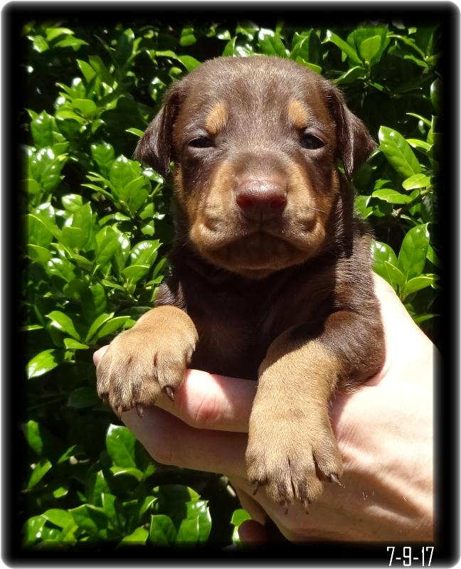 Cayenne A baby Dobe Boy for sale at HOH