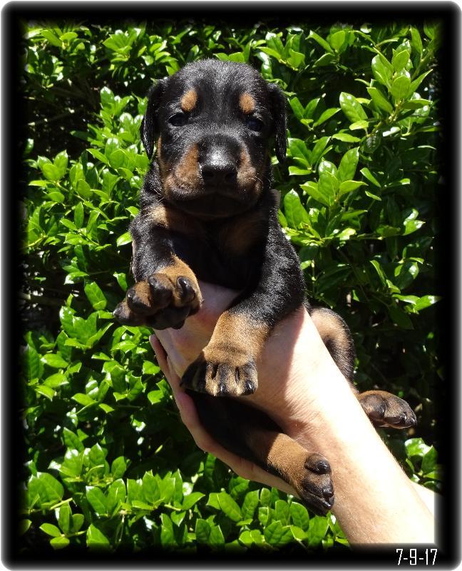 4 week old dobe pup in black and tan
