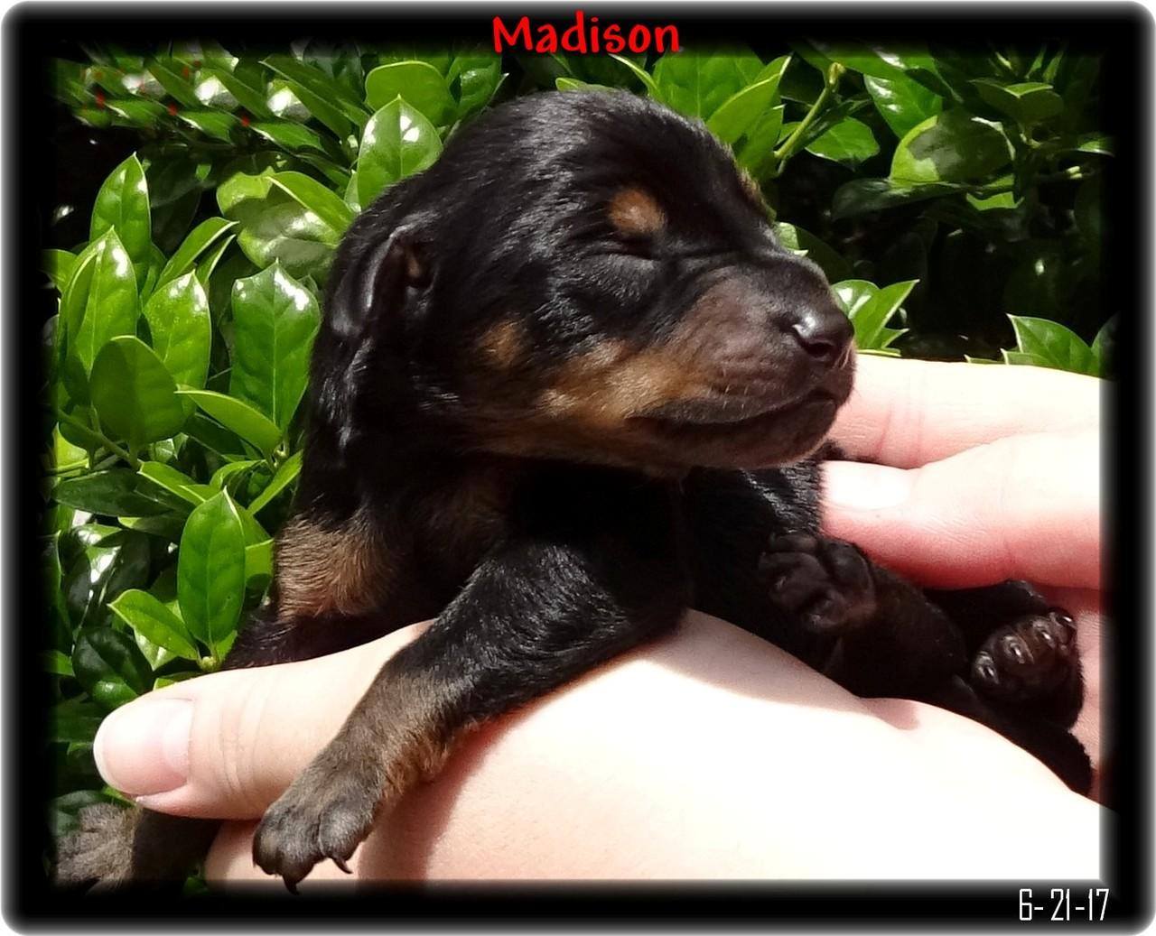 Doberman Pup before eyes open
