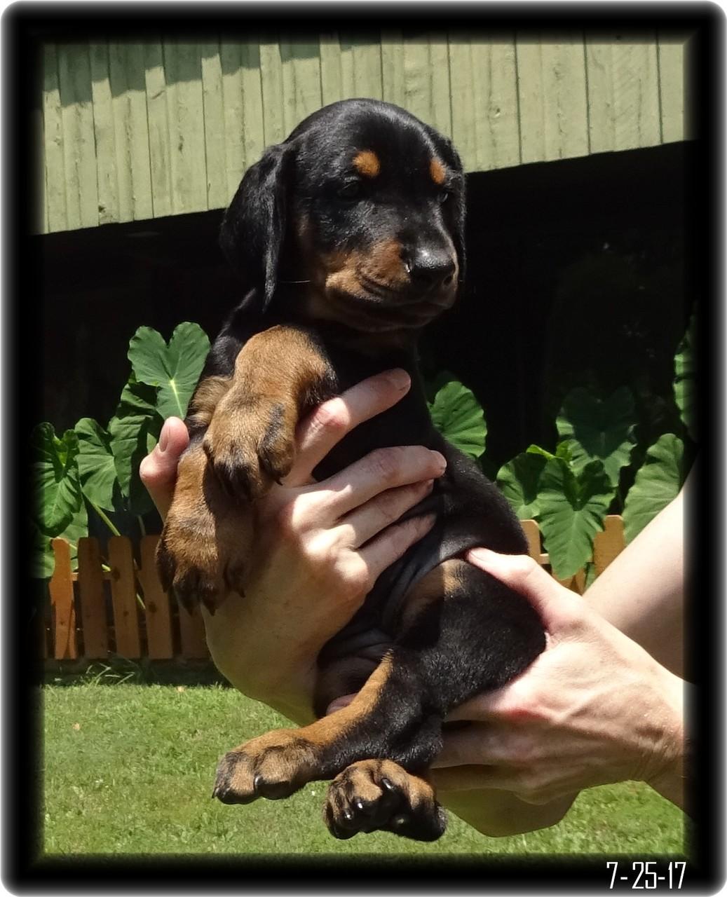 Side View of doberman pup with longer ears
