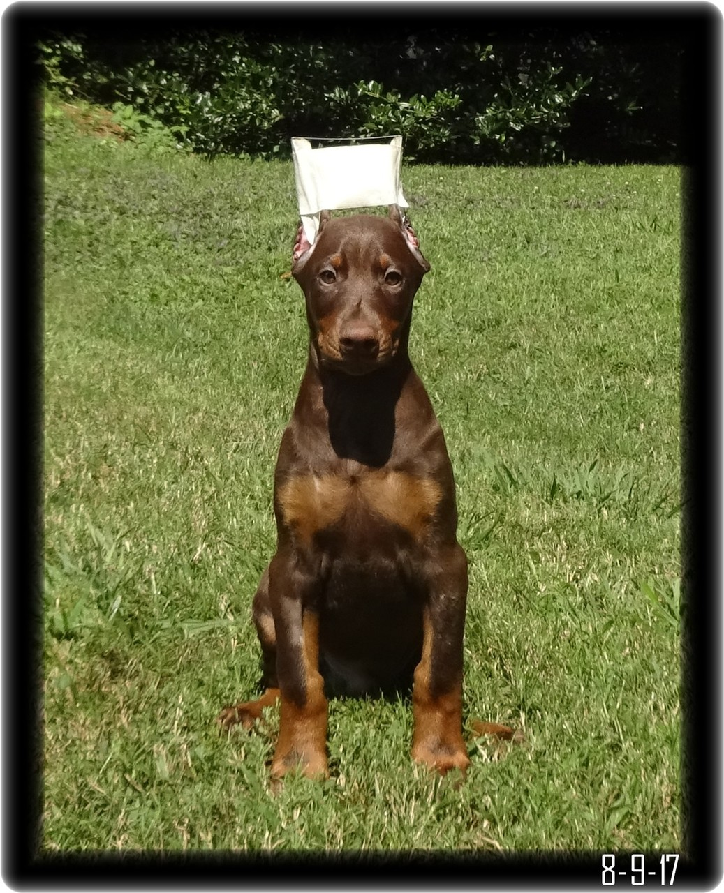 Red doberman puppy ten weeks old right after ear crop