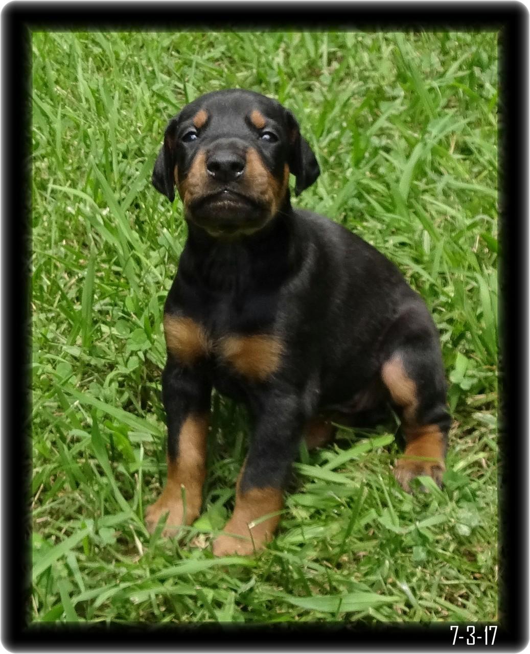 When we tried Doberman Pup Black