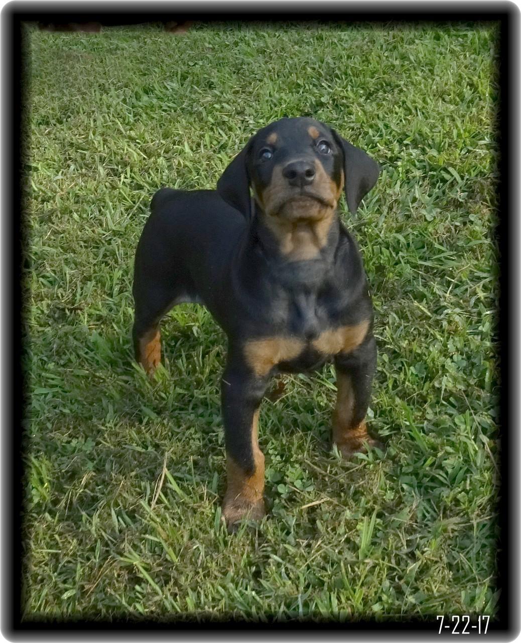 Hoytt Dobe Pup