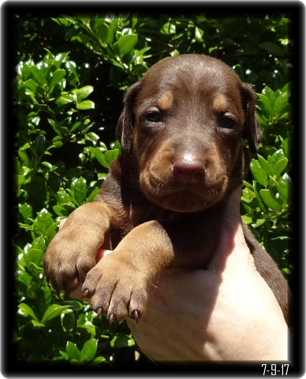 doberman puppy red