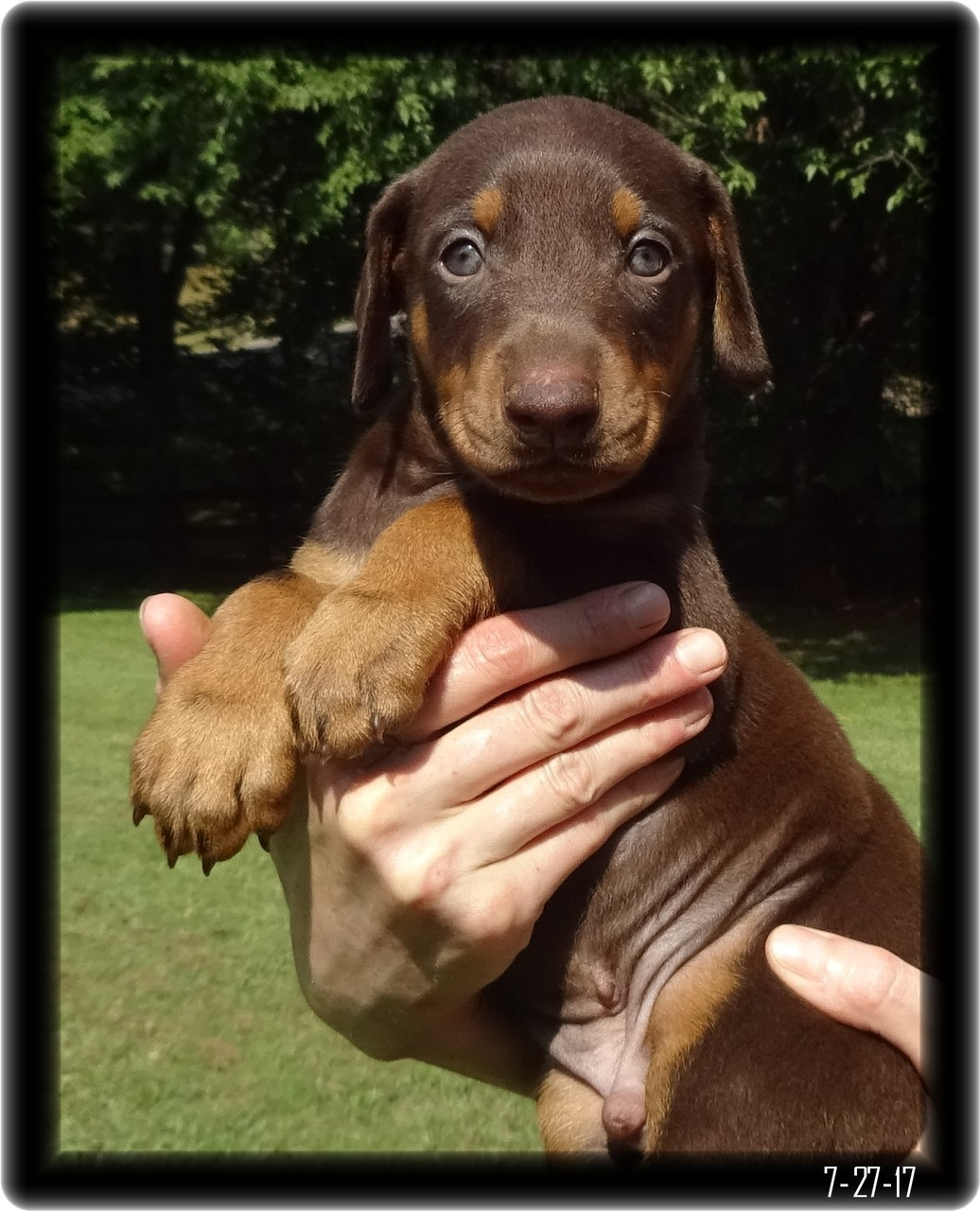 Doberman Pup in red and tan ready to find a home