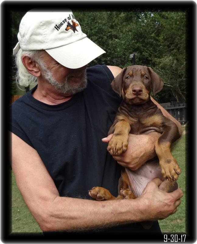 JJ the Red Doberman with Natural Ears at 8 weeks