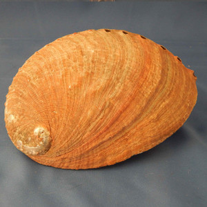(HO300E5) Abalone Shell, large