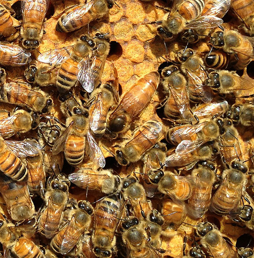 Naturally mated, genetically diverse, healthy queen.
