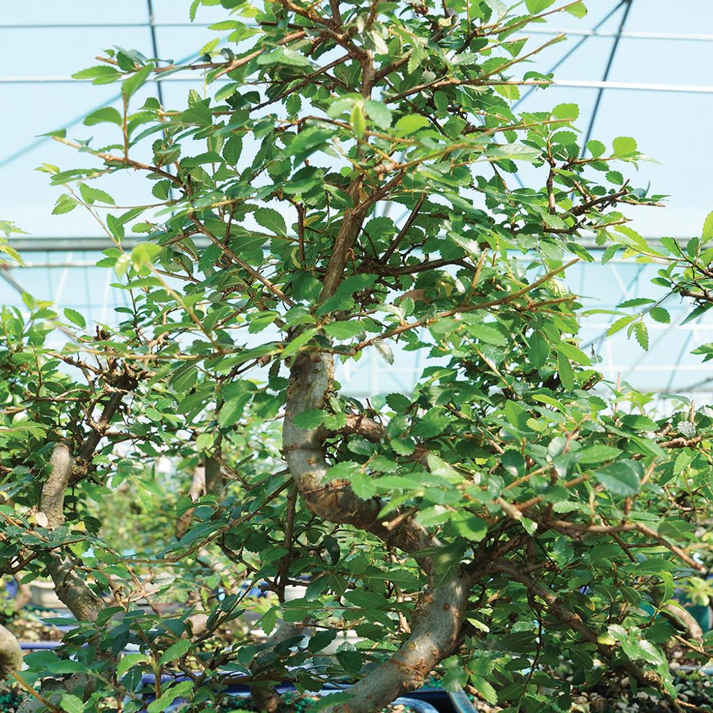Medium Size Chinese Elm Bonsai Tree Multi Image