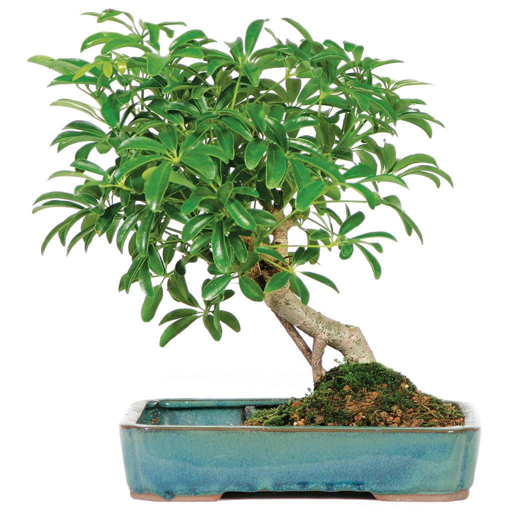 Medium Size Hawaiian Umbrella  In Water Pot Bonsai Tree