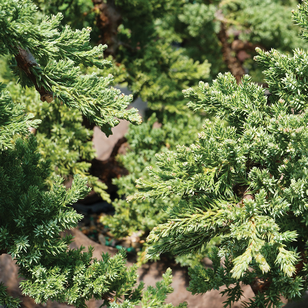Medium Green Mound Juniper in Rock Pot Foliage