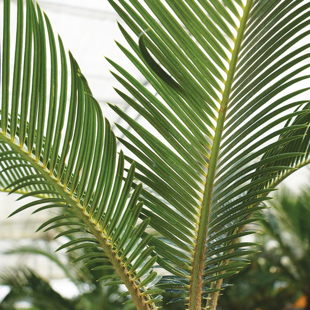Medium Size Sago Palm Bonsai Tree Foliage View
