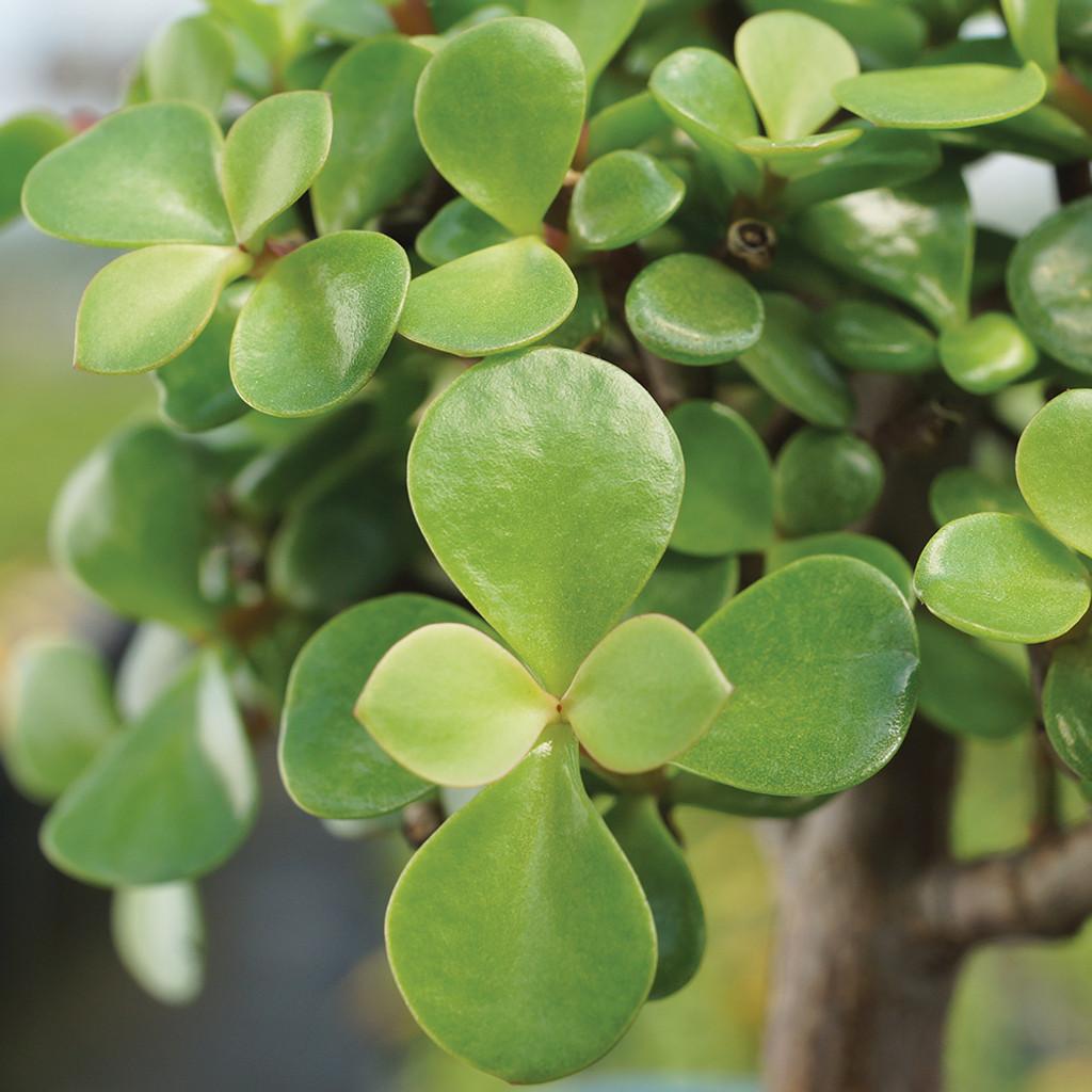 Small Size Dwarf Jade Bonsai Tree Foliage View