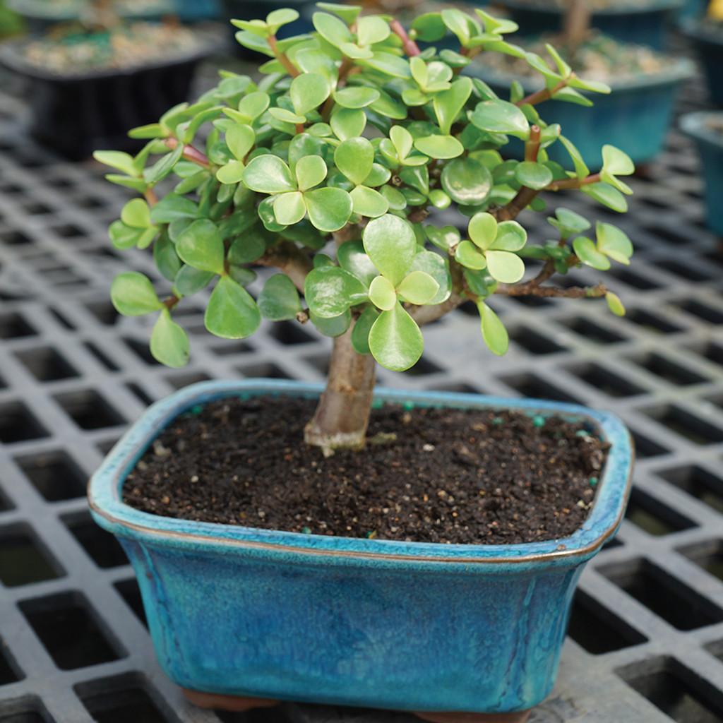 Small Size Dwarf Jade Bonsai Tree Alternate View