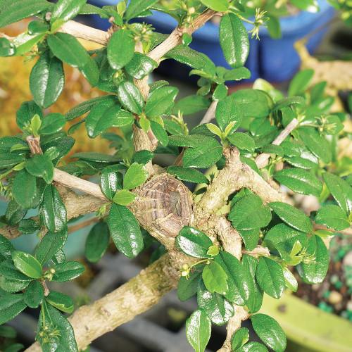 Medium Size Fukien Tea Bonsai Tree Foliage View