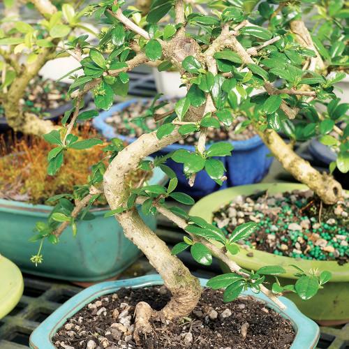Medium Size Fukien Tea Bonsai Tree Alternate View