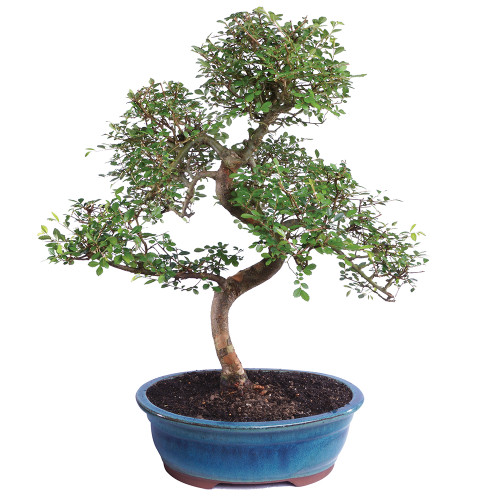 Chinese Elm - CT8003CE